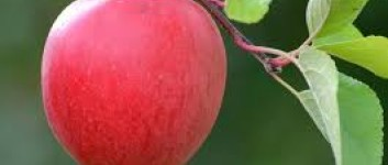 Fynsk æblehistorie